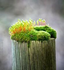Desert Island Hide Away (phosgrapheuk) Tags: lichen moss spores post pole concept island microworld wyverlane naturereserve dwt