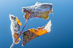 playing with the sun (phlickrron) Tags: sun sunset leaves outdoors nature macro detail frost bluesky tokina100mm natur