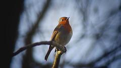 Christopher Robin (CMF1983) Tags: robin bird animal redbreast nature wildlife outdoor branch nikon d3300 tamron romsey