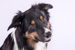Looking (Flemming Andersen) Tags: bordercolli animal yatzy dog dogs hund hurupthy northdenmarkregion denmark dk