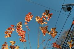 SAM_1851 (falcon170ct) Tags: autumn fall leaves redoak