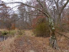 Trail along the brook (Dendroica cerulea) Tags: tree path trail stream brook landscape autumn irelandbrookconservationarea eastbrunswick middlesexcounty nj newjersey