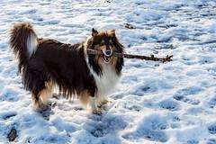 My Stick (Jori Samonen) Tags: animal pet dog collie noomi stick winter snow pihlajamäki helsinki finland nikon d3200 180550 mm f3556