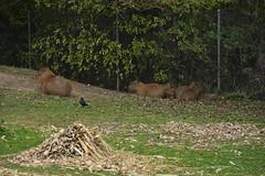 Chester Zoo (121) (rs1979) Tags: chesterzoo zoo chester capybara capybaras