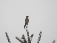 Townsend's Solitaire (farpost) Tags: birds