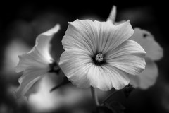 *** (pszcz9) Tags: polska poland przyroda nature natura kwiat flower zblienie closeup bokeh beautifulearth sony a77 bw blackandwhite monochrome czarnobiae