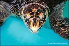 Proyecto TAMAR (Vitoria) (avix42) Tags: svbbpc1 brasil brazil victoria vilavelha tamar tortugasmarinas tartarugasmarinas seaturtle turtle tortuga tartaruga conservacin conservation mar pesca medioambiente wildlife