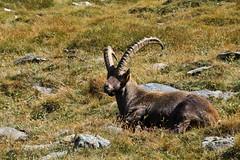 Val d'Aosta - Valsavarenche: vallone di Levionaz, salendo a Levionaz Dessus: ciao, io sono il primo, ma non sono solo... (mariagraziaschiapparelli) Tags: valdaosta valsavarenche levionaz casolaridilevionaz camminata escursionismo allegrisinasceosidiventa stambecco capraibex pngp parconazionaledelgranparadiso montagna mountain