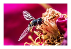 Working in A World Of Colour (red stilletto) Tags: bee flower flowers garden macro pink oceangrove bellarinepeninsula