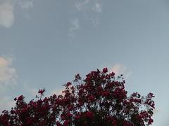 Oleander in full bloom (prondis_in_kenya) Tags: kenya nairobi shortrains oleander red flower bush dusk sky cloud