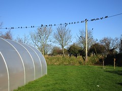 Four and Twenty black birds (JulieK (thanks for 8 million views)) Tags: rook bird telegraphtuesday pole garden polytunnel tree htt wexford canonixus170 fauna nature ireland irish bluesky