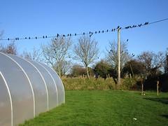 Four and Twenty black birds (JulieK (finally moved to Wexford)) Tags: rook bird telegraphtuesday pole garden polytunnel tree htt wexford canonixus170 fauna nature ireland irish bluesky