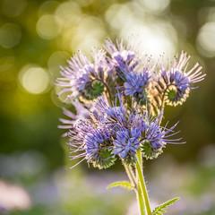 Flower (hjuengst) Tags: flower purple lilac lavender mauve bokeh phaceliatanacetifolia phacelia bienenfreund