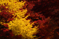 Autumn leaves (applephoto*) Tags:    001 japan 2016 autumn autumnleaves landscape fujikawaguchikoautumnleavesfestival  fujikawaguchiko