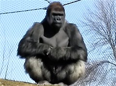 I AM KING OF THE ZOO (Visual Images1) Tags: zoo como minnesota gorilla
