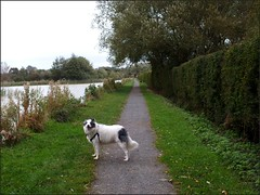 Newport Shropshire canal 111011old photos Liz Callan (9) (LIZ CALLAN) Tags: newport shropshire canal dog bordercollie grass water swans cygnets bridges paths waterlilies lizcallan lizcallanphotograph lizcallanphotography trees outside landscape