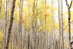 Fall Colors - Santa Fe (duncande150) Tags: aspen aspenvistaroad autumn autumncolors fall fallcolors hiking leaves nm nationalforest nature naturebirdsandwildlife newmexico santafe trees