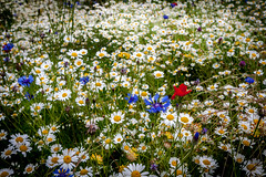 Last summer (Flytipper) Tags: flowers summer blooms daisy poppy grass field meadow closeup england englishsummer