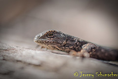 Eastern Fence Lizard (Jeremy Schumacher) Tags: animal nature wildlife nikon d5000 illinois macro eastern fence lizard reptile sceloporus undulatus