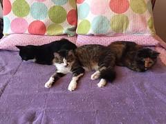 Feline Aesthetics: Symmetry (Philosopher Queen) Tags: cats bed symmetry jade mina xena kitties chats gatos cute