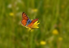 Una pequea mariposa en un prado verde con flores amarillas................... (T.I.T.A.) Tags: macro mariposa tita bolboreta lycaenaalciphron carmensolla estiempodemariposas kddcaminandojuntos carmensollafotografa carmensollaimgenes