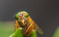 The fly (TFJ Photography) Tags: macro nature canon insect lens fly 7d reverse