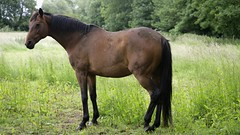 stubbs (Adam Swaine) Tags: county uk england horses horse green english beautiful animals rural canon landscape photography countryside flora britain east fields counties lincs 24105mm swaine 2013 thisphotorocks adamswaine mostbeautifulpicturesmbppictures wwwadamswainecouk