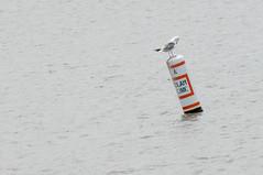 Seagull (.James Brian Clark) Tags: wild bird eye nature animal