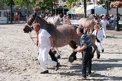 DSC_2278 (Ton van der Weerden) Tags: horses horse dutch de cheval belgian nederlands belges draft chevaux belgisch trait ijzendijke trekpaard trekpaarden