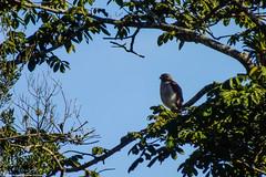 "Falcão no Parque Estadual Acaraí • <a style=""font-size:0.8em;"" href=""http://www.flickr.com/photos/39546249@N07/9379806088/"" target=""_blank"">View on Flickr</a>"
