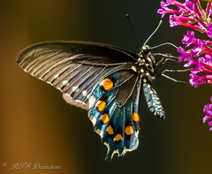Beautiful Butterfly (Rick Smotherman) Tags: flowers summer stpeters nature leaves canon butterfly garden outdoors backyard august 7d butterflybush canon300mmf4l canon7d