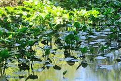 Ninfee () Tags: verde green water photography photo foto photographer photos fotografia acqua stefano fotografo trucco ninfee zush stefanotrucco