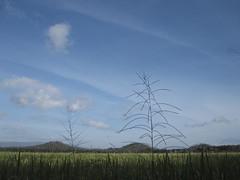 hi, my dear friend ! (alifabokeh) Tags: blue sky white green field grass yellow canon dance village rice wind ricefield 2013 canonpowershotsd780is