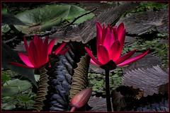 Deep red (scorpion (13)) Tags: summer sun flower nature water season flora with blossom cologne visit grandson lilies frame photoart seerosen