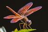 Dragonfly (madrones) Tags: asia dragonflies dragonfly insects srilanka lk arthropoda colombo westernprovince invertebrates arthropod southasia anisoptera wildlifephotography dutchcanal muthurajawela