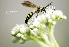 Settle Down (yonatandika) Tags: white black macro yellow canon indonesia bugs bee 60d