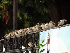 Verébsor (vegeta25) Tags: bird fuji row sparrow fujifilm sparrows sor verebek madarak veréb myfuji s3200 giveusyourbestshot weekofseptember9 52weeksthe2013edition 522013 522013week37 verébsor sparrowsrow