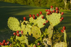 In the Ruff (Woody H1) Tags: flowers sunset cactus plant newmexico green ecology garden texas desert landscaping nikond7000
