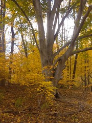 Beech maple woodlands, Cherokee Park (mightyjoepye) Tags: fallcolor parks fallfoliage louisville cherokeepark americanbeech kentuckyparks beechmapleforest fredericklawolmstedparks beargrassmeadows