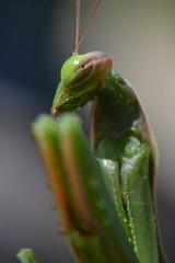 Mantis religiosa (Hachimaki123) Tags: animal mantis insect insecto mantisreligiosa