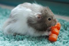 39/365 (MegsPhotosUK) Tags: blue food orange pet cute love animal animals fur rodent eyes furry good rip vince fluffy ears carrot hamster 365 eddy hammy foreddy project365