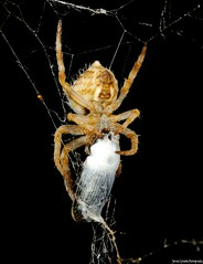 Dinner Wrap (wizzy_sy) Tags: macro spider nikon tamron spidersilk