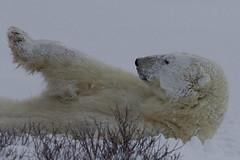 Relaxing... (scottyboylamont) Tags: polarbear ursusmaritimus churchillmanitoba canadanovember2013
