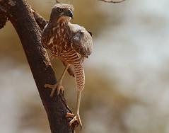 Eastern Chanting Goshawk immature (Rainbirder) Tags: kenya ngc melieraxpoliopterus easternchantinggoshawk easternpalechantinggoshawk shabanationalpark rainbirder