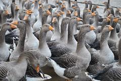 Les nouvelles oies de Bélus. (Claudia Sc.) Tags: oiseau oie landes aquitaine bélus