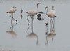 Puna Flamingo, Ite (hogsas) Tags: peru flamingo flamingos puna tacna ite phoenicoparrusjamesi jamessflamingo punaflamingo peruvianimages peruvianbirds