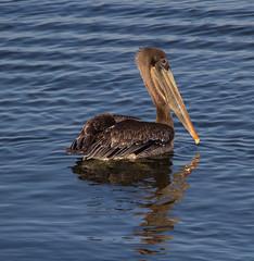 BI131002-110-Brown Pelican (lgooch) Tags: california montereycounty immature elkhornslough pelecanusoccidentalis pelecanusoccidentaliscalifornicus taxonomy:binomial=pelecanusoccidentalis october2013