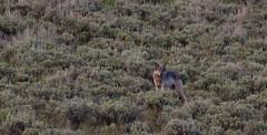 Lamar Wolf (Nebphotography.com) Tags: nationalpark yellowstone teton
