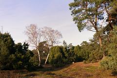 Lingen - Wacholderhain_IMG_1944 (milanpaul) Tags: landscape deutschland natur tokina1224 landschaft baum januar birke emsland lingen 2014 niedersachsen mittagslicht canoneos60d nsgwacholderhain nsgwachendorf