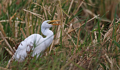 Intermediate Egret eating grasshopper (uropsalis) Tags: heron japan kagoshima egret amami wader intermediateegret ardeaintermedia ikusatoricepaddies